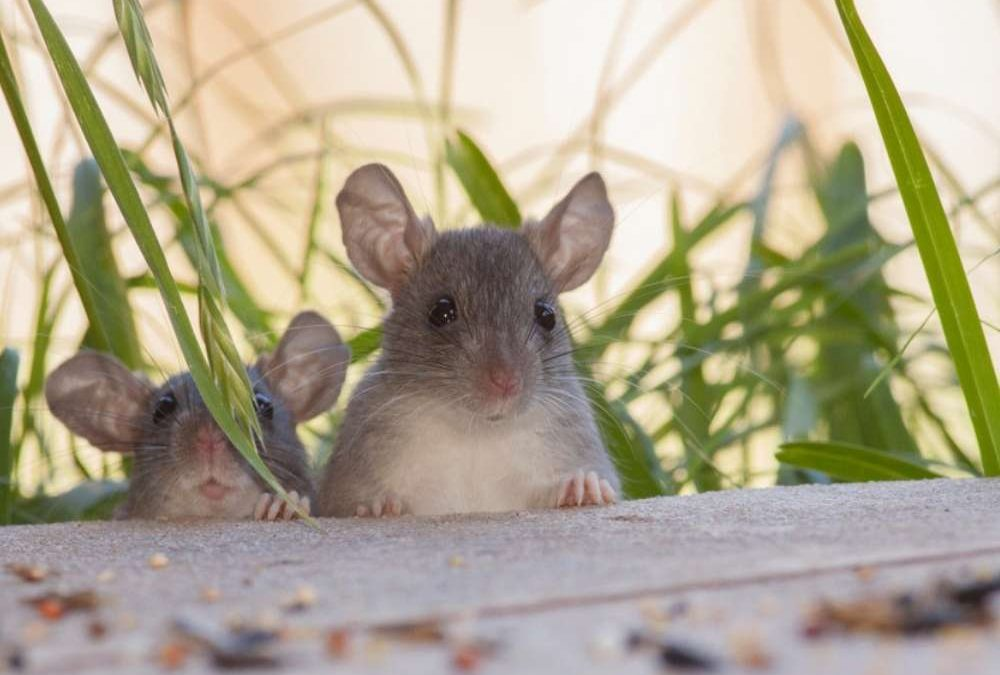 Eliminando os ratos do quintal